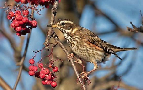 Дрозд-рябинник-птица-Описание-особенности-образ-жизни-и-среда-обитания-рябинника-7