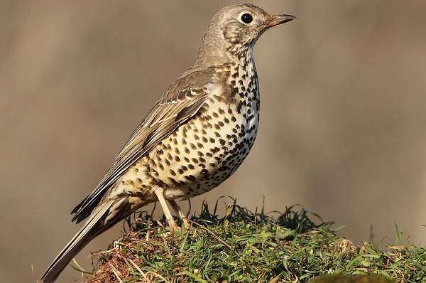Дрозд-рябинник-птица-Описание-особенности-образ-жизни-и-среда-обитания-рябинника-8