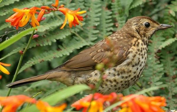 Дрозд-рябинник-птица-Описание-особенности-образ-жизни-и-среда-обитания-рябинника-9