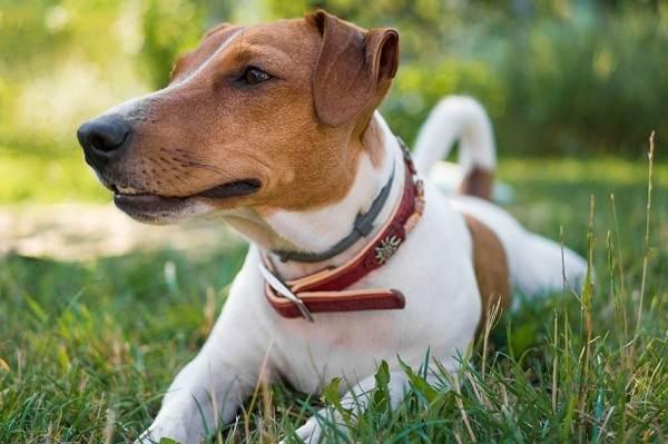 Джек-Рассел-терьер-собака-Описание-особенности-виды-цена-и-уход-за-породой-1