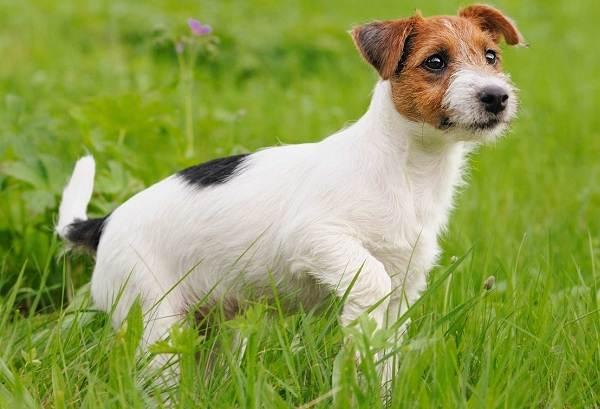 Джек-Рассел-терьер-собака-Описание-особенности-виды-цена-и-уход-за-породой-10