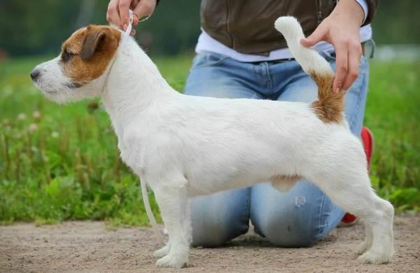 Джек-Рассел-терьер-собака-Описание-особенности-виды-цена-и-уход-за-породой-11
