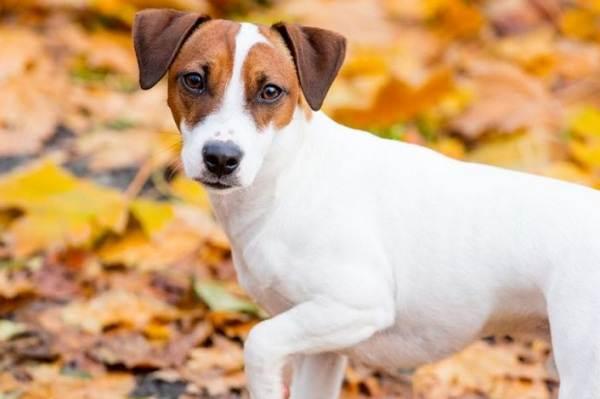Джек-Рассел-терьер-собака-Описание-особенности-виды-цена-и-уход-за-породой-14