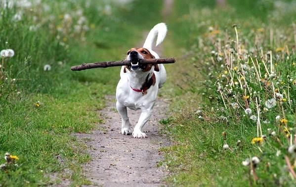 Джек-Рассел-терьер-собака-Описание-особенности-виды-цена-и-уход-за-породой-15