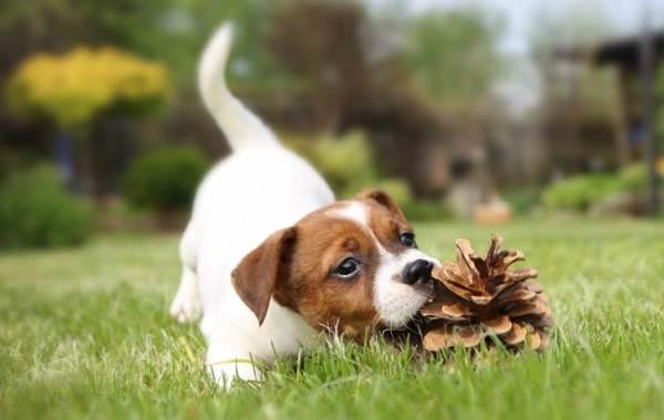 Джек-Рассел-терьер-собака-Описание-особенности-виды-цена-и-уход-за-породой-16