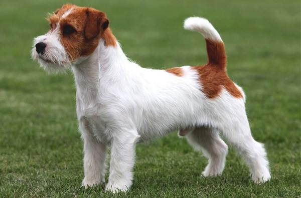 Джек-Рассел-терьер-собака-Описание-особенности-виды-цена-и-уход-за-породой-2