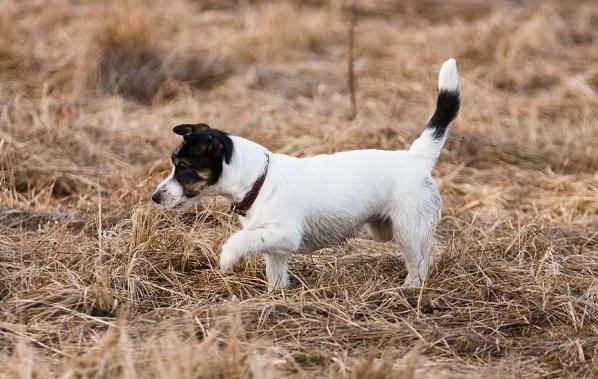 Джек-Рассел-терьер-собака-Описание-особенности-виды-цена-и-уход-за-породой-20