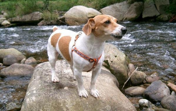 Джек-Рассел-терьер-собака-Описание-особенности-виды-цена-и-уход-за-породой-21