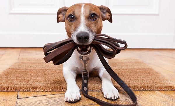 Джек-Рассел-терьер-собака-Описание-особенности-виды-цена-и-уход-за-породой-23