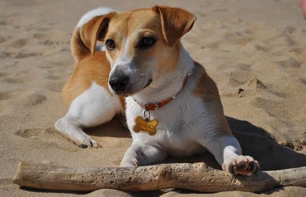Джек-Рассел-терьер-собака-Описание-особенности-виды-цена-и-уход-за-породой-3