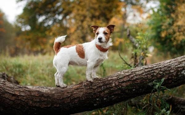 Джек-Рассел-терьер-собака-Описание-особенности-виды-цена-и-уход-за-породой-6
