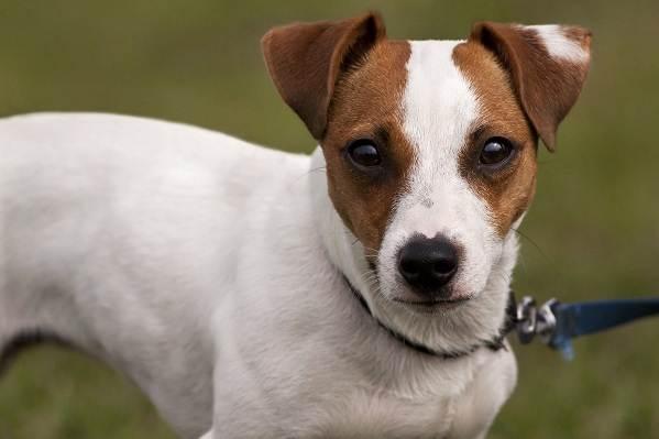 Джек-Рассел-терьер-собака-Описание-особенности-виды-цена-и-уход-за-породой-7