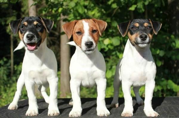Джек-Рассел-терьер-собака-Описание-особенности-виды-цена-и-уход-за-породой-8