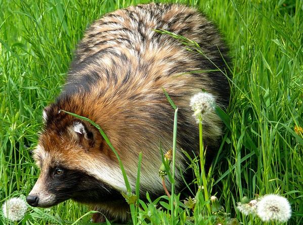 Енотовидная-собака-Описание-особенности-виды-образ-жизни-и-среда-обитания-енотовидной-собаки-10