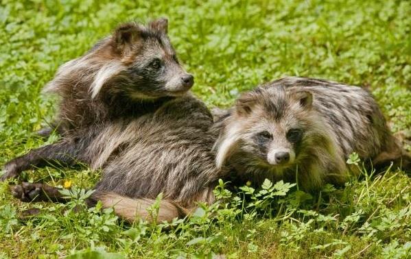 Енотовидная-собака-Описание-особенности-виды-образ-жизни-и-среда-обитания-енотовидной-собаки-11