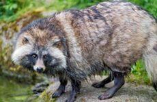 Енотовидная собака. Описание, особенности, виды, образ жизни и среда обитания енотовидной собаки