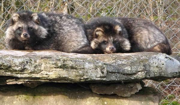 Енотовидная-собака-Описание-особенности-виды-образ-жизни-и-среда-обитания-енотовидной-собаки-8