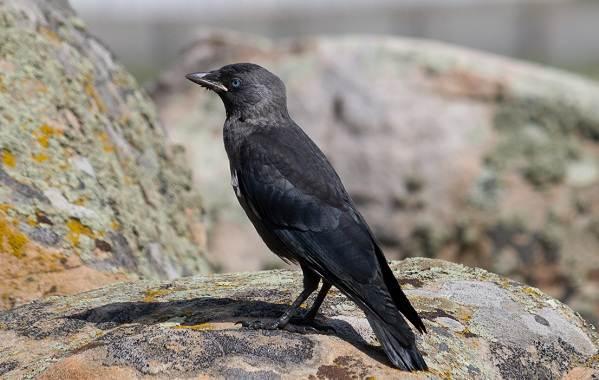 Галка-птица-Описание-особенности-виды-образ-жизни-и-среда-обитания-галки-1