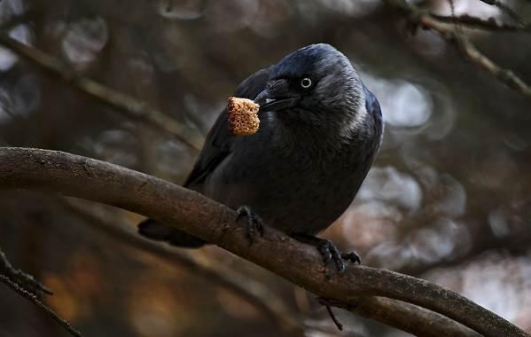 Галка-птица-Описание-особенности-виды-образ-жизни-и-среда-обитания-галки-10