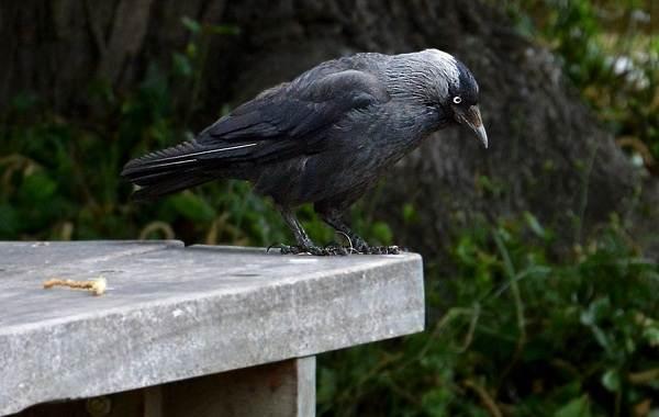 Галка-птица-Описание-особенности-виды-образ-жизни-и-среда-обитания-галки-11