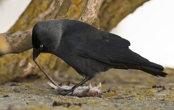 Галка-птица-Описание-особенности-виды-образ-жизни-и-среда-обитания-галки-12