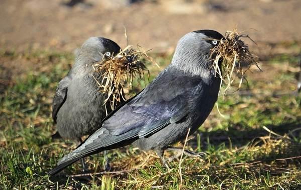 Галка-птица-Описание-особенности-виды-образ-жизни-и-среда-обитания-галки-13