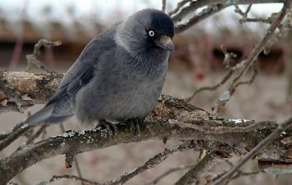 Галка-птица-Описание-особенности-виды-образ-жизни-и-среда-обитания-галки-16