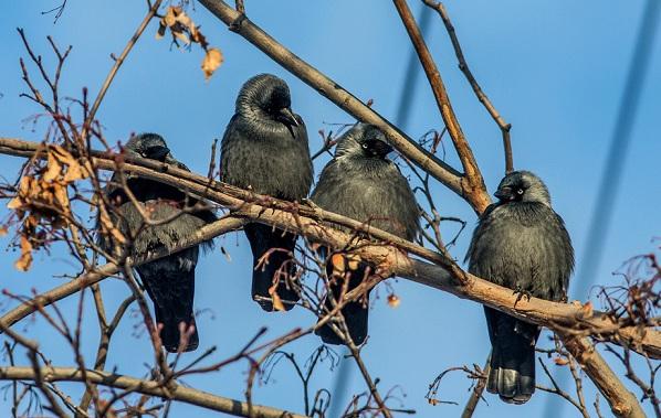 Галка-птица-Описание-особенности-виды-образ-жизни-и-среда-обитания-галки-17