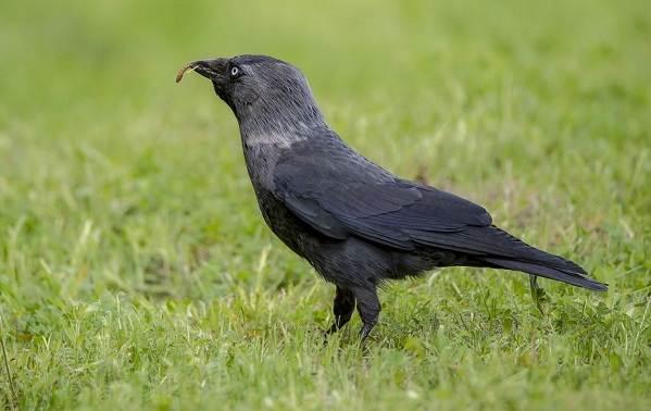 Галка-птица-Описание-особенности-виды-образ-жизни-и-среда-обитания-галки-2