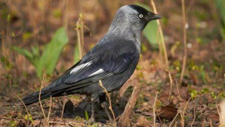 Галка птица. Описание, особенности, виды, образ жизни и среда обитания галки