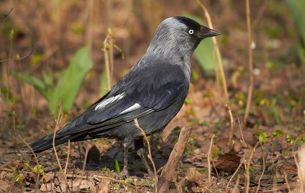 Галка-птица-Описание-особенности-виды-образ-жизни-и-среда-обитания-галки-3