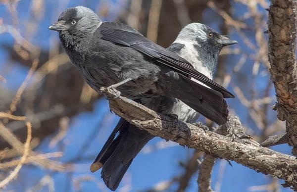Галка-птица-Описание-особенности-виды-образ-жизни-и-среда-обитания-галки-7