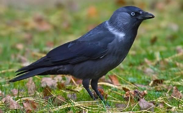 Галка-птица-Описание-особенности-виды-образ-жизни-и-среда-обитания-галки-5