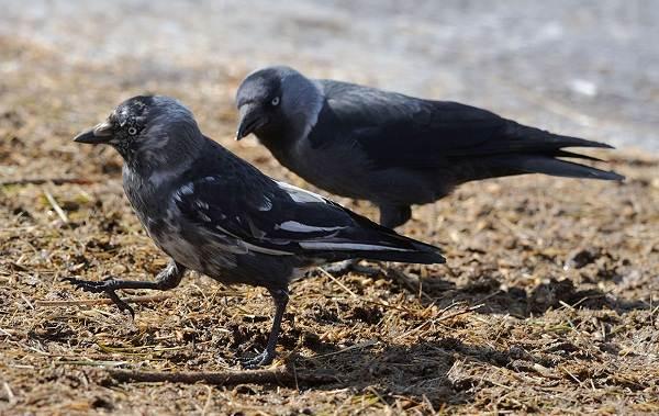 Галка-птица-Описание-особенности-виды-образ-жизни-и-среда-обитания-галки-6