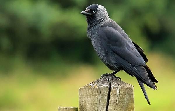 Галка-птица-Описание-особенности-виды-образ-жизни-и-среда-обитания-галки-8