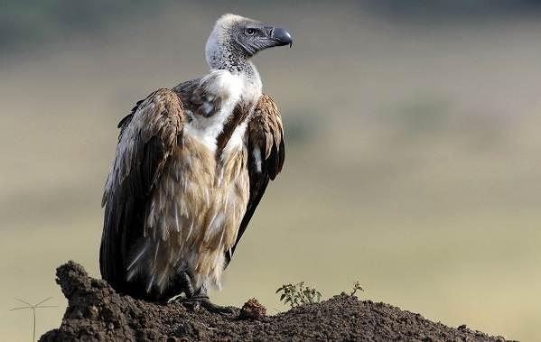 Гриф-птица-Описание-особенности-виды-образ-жизни-и-среда-обитания-грифа-1