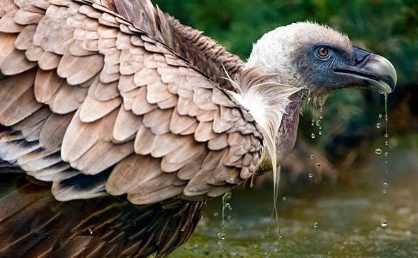 Гриф-птица-Описание-особенности-виды-образ-жизни-и-среда-обитания-грифа-13