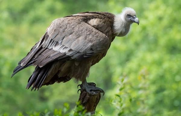 Гриф-птица-Описание-особенности-виды-образ-жизни-и-среда-обитания-грифа-15
