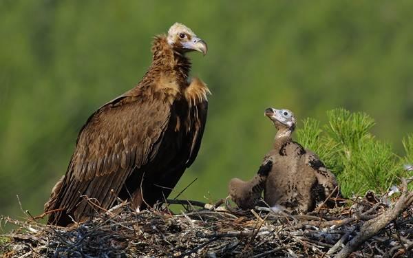 Гриф-птица-Описание-особенности-виды-образ-жизни-и-среда-обитания-грифа-17