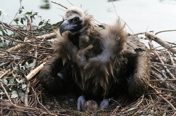 Гриф-птица-Описание-особенности-виды-образ-жизни-и-среда-обитания-грифа-18