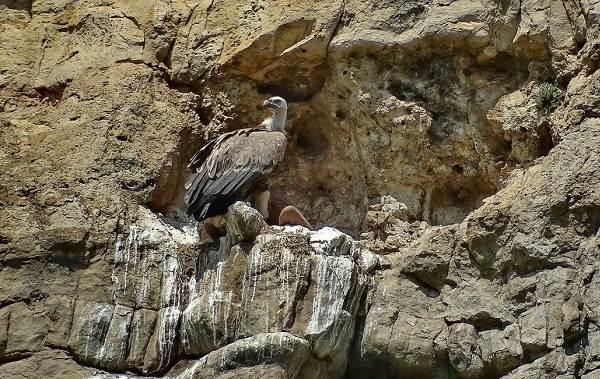 Гриф-птица-Описание-особенности-виды-образ-жизни-и-среда-обитания-грифа-19