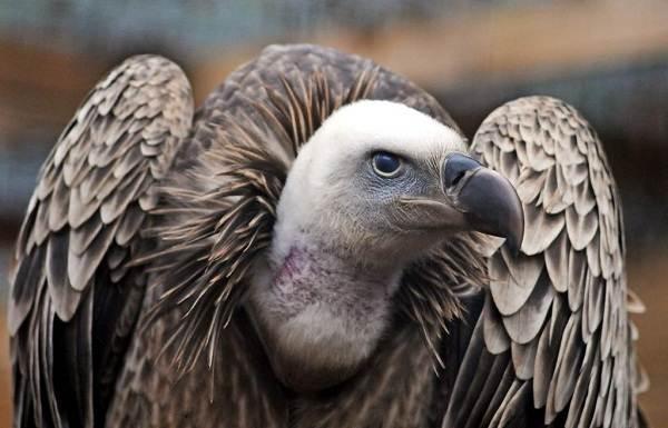 Гриф-птица-Описание-особенности-виды-образ-жизни-и-среда-обитания-грифа-2