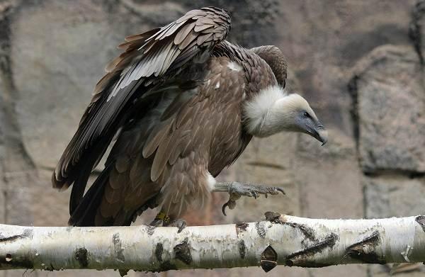 Гриф-птица-Описание-особенности-виды-образ-жизни-и-среда-обитания-грифа-6