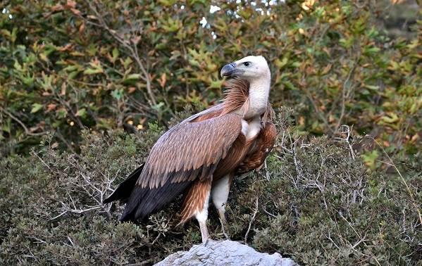 Гриф-птица-Описание-особенности-виды-образ-жизни-и-среда-обитания-грифа-7