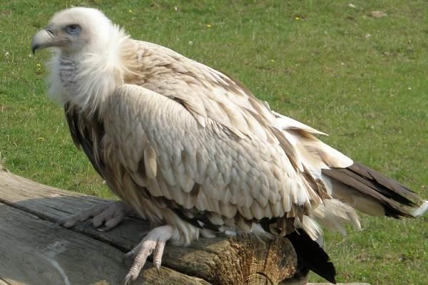 Гриф-птица-Описание-особенности-виды-образ-жизни-и-среда-обитания-грифа-9