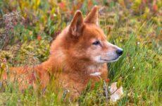 Карело-финская лайка. Описание, особенности, уход и цена породы