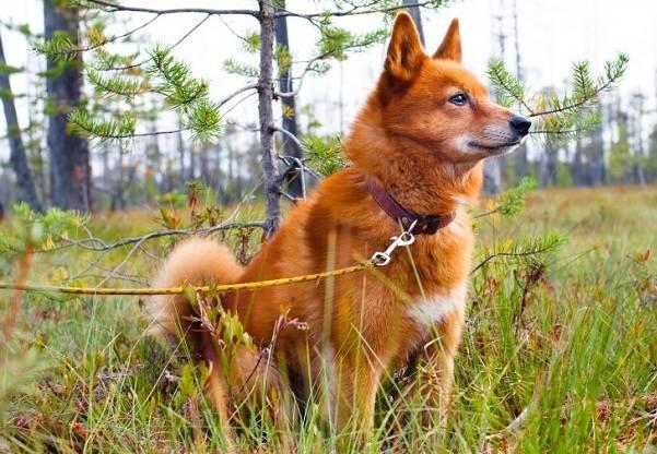 Карело-финская-лайка-Описание-особенности-уход-и-цена-породы-2