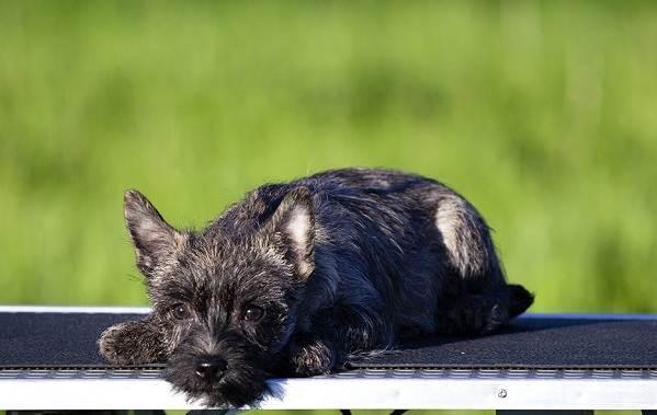 Керн-терьер-собака-Описание-особенности-виды-уход-и-цена-породы-11