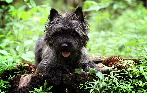 Керн-терьер-собака-Описание-особенности-виды-уход-и-цена-породы-12