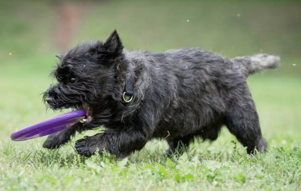 Керн-терьер-собака-Описание-особенности-виды-уход-и-цена-породы-14